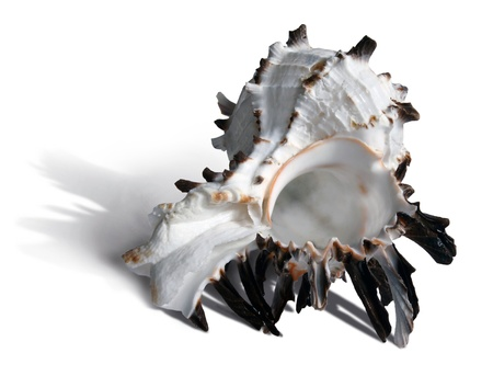 White and dark brown seashell on the white background