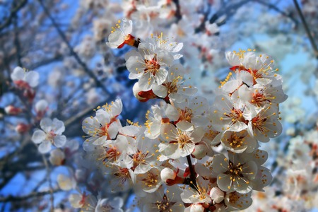 apricot tree: Branch of flowering apricot tree Stock Photo