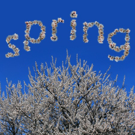 Word quotspringquot made of flowers and flowering big apricot tree