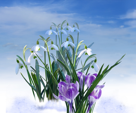 White snowdrops and purple crocuses on blue sky background