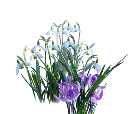 crocuses: White snowdrops and purple crocuses on white background