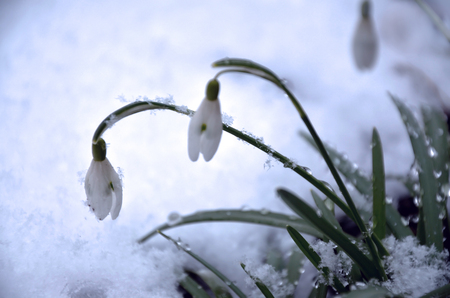 early spring snow: White snowdrops are in snow early spring Stock Photo
