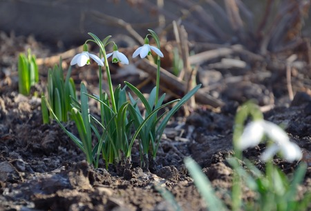 White snowdrops are in the garden early spring Stock Photo
