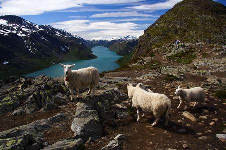 Sheep on scenic spot in Jotunheimen national park in the summer. Gjende lake near Bessegen in Norway. Stock Photo - 4166820