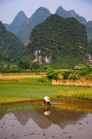 Rice Field Work in Yangshuo, Guangxi, China.  photo