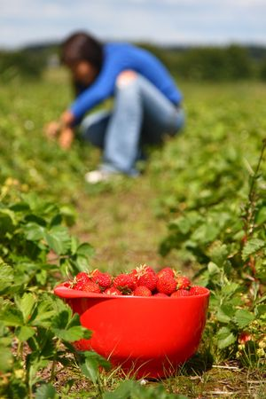 Bowl of strawberries and woman gathering strawberries on a farm in Denmark. Shallow depth of field, focus on strawberries photo