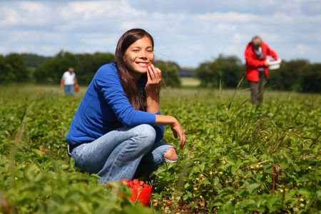 picking fruit: Beautiful woman eating a strawberry while gathering strawberries on a farm in Denmark. Stock Photo