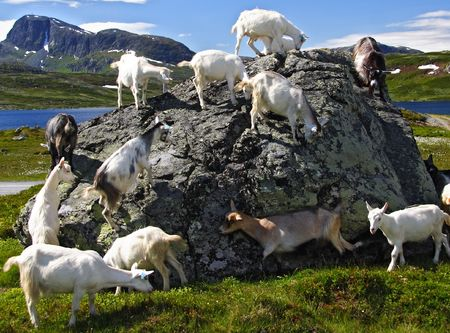 jotunheimen national park: Goats in Jotunheimen national park, Norway