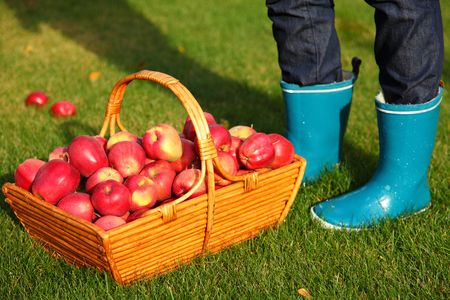 Autumn concept. Apples in basket and blue rain boots. photo