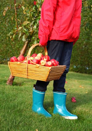 Apple picking in the fall - beautiful girl with basket full of red apples. photo