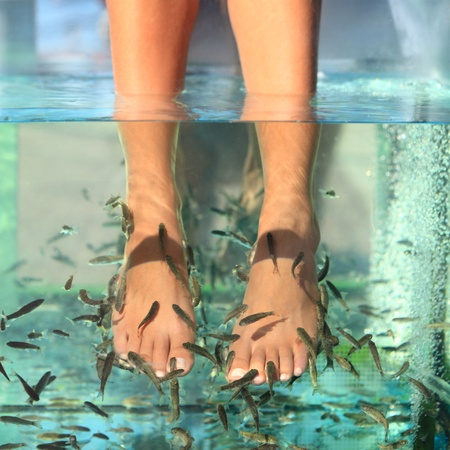 pedicura: Tratamiento de cuidado de la piel de la pedicura pies peces spa con la garra rufa peces, también llamado doctor fish, mordisquear peces y pez kangal.