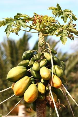 papaya tree: Papaya tree with many ripe and mature papayas. Photo from Tenerife, Canary Islands, Spain.
