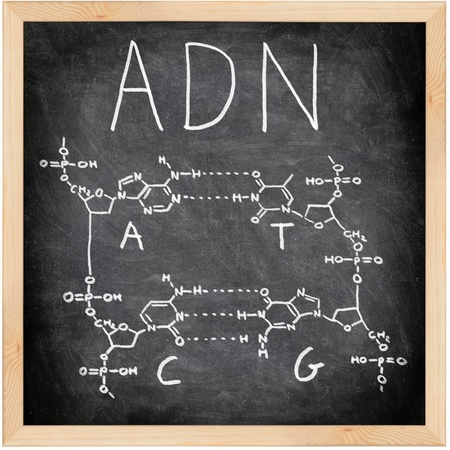 ADN, DNA in Spanish, French and Portuguese written on blackboard with chalk. Chemical structure of DNA including all four bases. Chalkboard science and education concept. photo