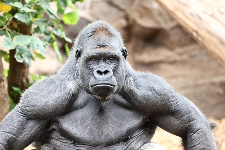 species: Gorilla - silverback gorilla looking at camera.
