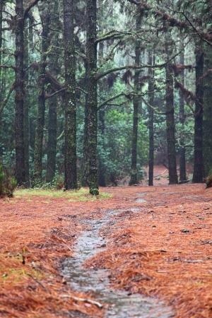 Bosque caminando ruta de senderismo en el bosque de pino Esperanza, en Tenerife, Islas Canarias, España. Foto de archivo - 18938080