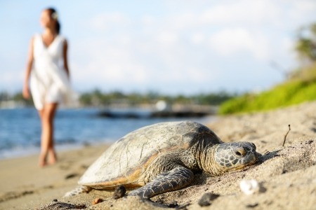 Turtle on beach. Walking woman wearing white dress in background. Sun shining in relaxed atmosphere. Hawaiian nature scene with sea turtles, Big Island, Hawaii, USA. photo