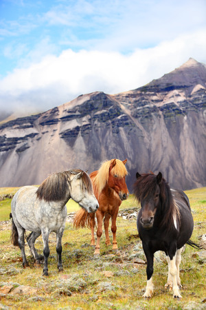 scandinavian landscape: Icelandic Horses on Iceland nature landscape. Beautiful Icelandic horse standing on field in nature landscape with mountains. Iceland travel and tourism.