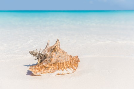 caribbean beach: Beach shell ocean conch copyspace background. Serene landscape with seashell lying on white sand in water for tropical summer vacations concept. Travel in the Caribbean.