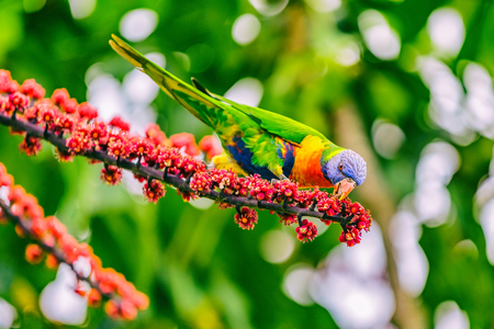 Rainbow lorikeet bird parrot eating flower buds off tree branch in nature wilderness park in Sydney, Australia. Colorful australian birds. Stock Photo