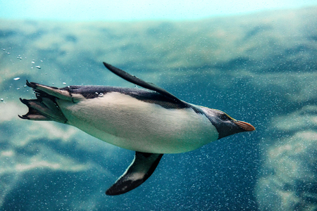 Fiordland penguin swimming underwater at zoo 스톡 콘텐츠