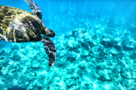 Wild turtle diving in blue ocean waters of Hawaii. Turquoise sea background, natural wildlife.