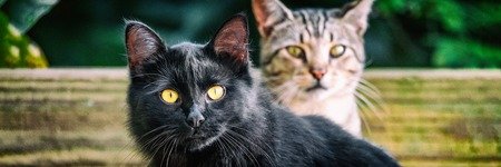 Black cat with yellow eyes banners . Two cute cats outside in garden looking. Panoramic crop. House pets animals. Stock Photo