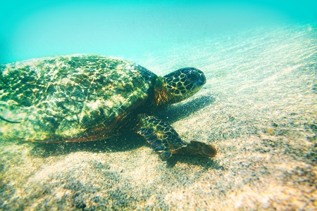 Green turtle underwater photography in Hawaii - marine wildlife animal swimming in turquoise water - environment conservation , eco-friendly.