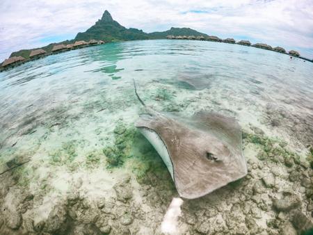 Stingray nageant dans l'eau de mer à l'hôtel Bora Bora près du rivage. Activité touristique amusante à l'hôtel Bora Bora à Tahiti, Polynésie française. Deux raies à la plage. Banque d'images