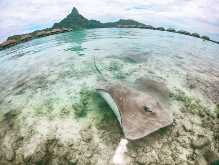 Stingray swimming in ocean water at Bora Bora hotel near shore. Fun tourist activity at Bora Bora hotel in, Tahiti, French Polynesia travel vacation holiday. Two stingrays at the beach.