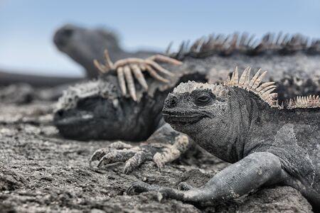 Galapagos Islands animals. Iguana lying in the sun on rock. Marine iguana is an endemic species in Galapagos Islands. Animals, wildlife and nature of Ecuador.