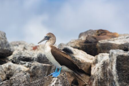 Galapagos animals: Blue-footed Booby - Iconic and famous galapagos animals and wildlife. Blue footed boobies are native to the Galapagos Islands, Ecuador, South America.