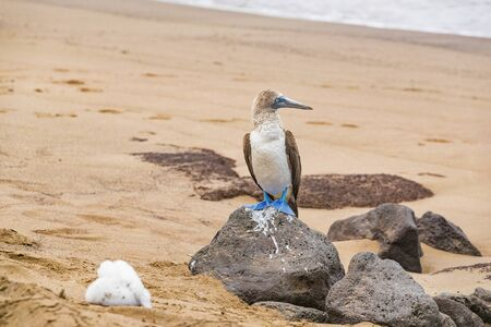Galapagos animals: Blue-footed Booby and chick - Iconic and famous galapagos animals and wildlife. Blue footed boobies are native to the Galapagos Islands, Ecuador, South America.