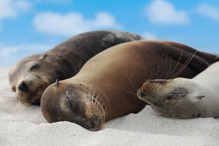 Animals. Sea Lion Family in sand lying on beach on Galapagos Islands - Cute adorable Animals. Animal and wildlife nature on Galapagos, Ecuador, South America. 写真素材