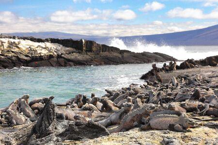 Galapagos animals - Marine Iguana and Flightless cormorant at Punta Espinoza, Fernandina Island, Galapagos Islands. Amazing wildlife and nature display with many endemic species.