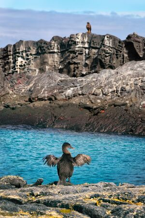Flightless cormorant aka Galapagos cormorants drying wings by other animals and wildlife by sea on Fernandina island, Espinoza Point, Galapagos Islands. Also Marine Iguanas, Hawk, Sally lightfoot crab 写真素材