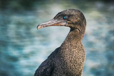 Flightless cormorant aka Galapagos cormorants - animals and wildlife of Galapagos by sea on Fernandina island, Espinoza Point, Galapagos Islands. Stock Photo
