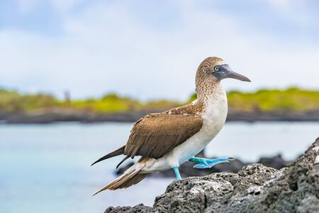 Blue-footed Booby - Iconic and famous galapagos animals and wildlife. Blue footed boobies are native to the Galapagos Islands, Ecuador, South America. Stok Fotoğraf