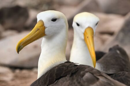 Galapagos Albatross aka Waved albatross pair nesting on Espanola Island, Galapagos Islands, Ecuador. The Waved Albatrosses is an critically endangered species endemic to Galapagos.