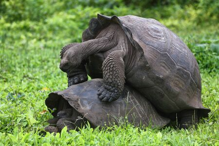 Galapagos Giant Tortoises mating having sex on Santa Cruz Island in Galapagos Islands. Giant Tortoise, Animals, nature and wildlife nature close up of tortoise in the highlands of Galapagos, Ecuador. 版權商用圖片