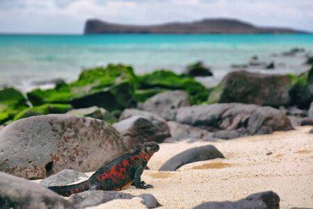 Galapagos Islands Christmas Iguana on in beautiful nature landscape on Espanola Island. Male Marine Iguana. Amazing animals wildlife and nature on Galapagos islands, Ecuador, South America.