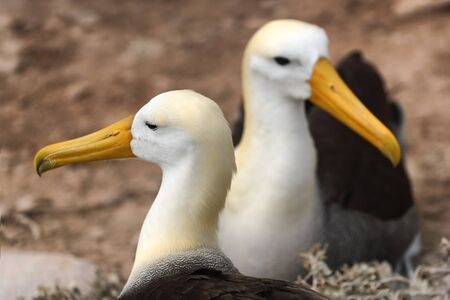 Animals on Galapagos. Galapagos Albratross aka Waved albatrosses on Espanola Island, Galapagos Islands, Ecuador. The Waved Albatross is an critically endangered species endemic to Galapagos.