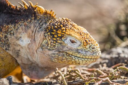 Galapagos Land Iguana - close up of yellow land iguana on North Seymour. Amazing animals and wildlife in Galapagos Islands, Ecuador, South America. Male land iguana. 版權商用圖片 - 127253377