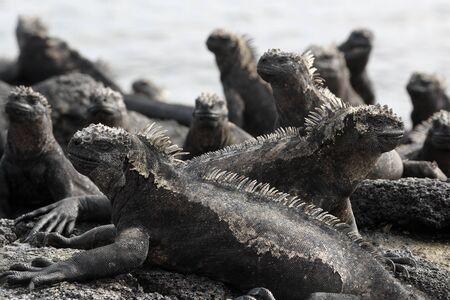 Galapagos Marine Iguana - Iguanas warming in the sun on volcanic rocks on Fernandina Island, Espinoza Point. Amazing wildlife animals on Galapagos Islands, Ecuador. 스톡 콘텐츠
