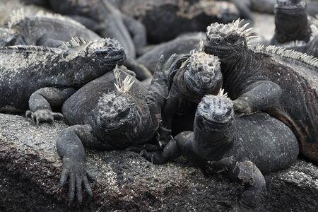 Animals. Galapagos Marine Iguana - Iguanas warming in the sun on volcanic rocks on Fernandina Island, Espinoza Point. Amazing wildlife animals on Galapagos Islands, Ecuador. 스톡 콘텐츠