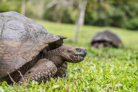Animals. Galapagos Giant Tortoise walking on Santa Cruz Island in Galapagos Islands. Animals, nature and wildlife close up of tortoise in the highlands of Galapagos, Ecuador, South America. Stock Photo