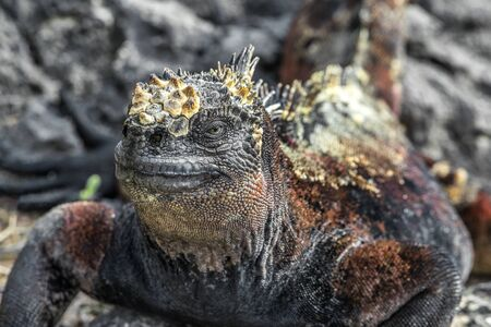 Galapagos Marine Iguana shaking and bobbing its head walking showing threat and dominance while lava lizard catches a ride on the tail. Male marine iguana on Isabela, Galapagos Islands, Ecuador.