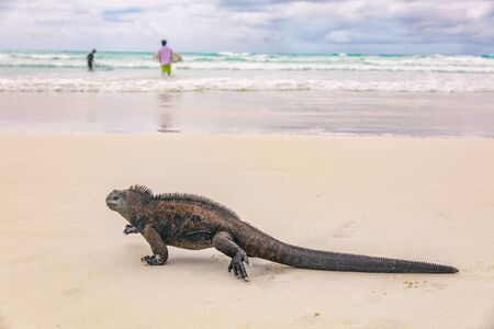 Galapagos wildlife marine iguana walking on Tortuga Bay beach in Santa Cruz island with tourist and local people surfing in background. Galapagos islands travel adventure vacation.
