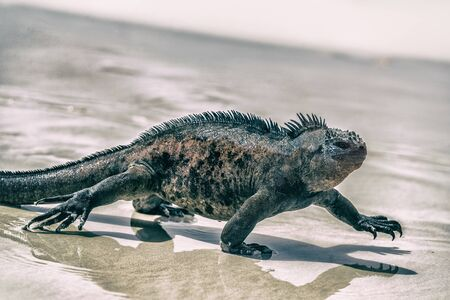 Galapagos Marine Iguana walking on Tortuga bay. Male Marine iguana on beach on Santa Cruz Island, Galapagos Islands. Animals, wildlife and beautiful nature landscape in Ecuador, South America.