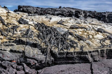 Galapagos marine iguanas sleeping on volcanic rock of Fernandina island in the Islas galapagos. Many small iguana animals resting. Pristine wildlife on Galapagos Islands Stock Photo