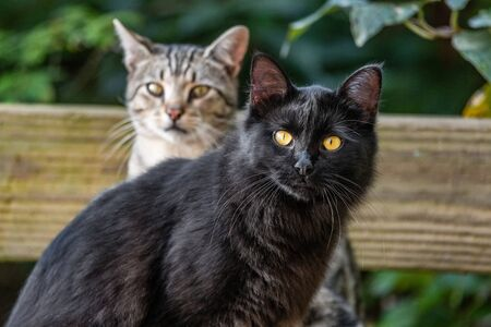Two young cats outdoor in the garden - black cat and short hair common house cat portrait.
